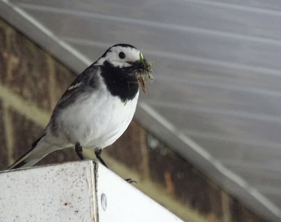 NESTING TIME: One of the tiny birds with a beak full of nesting material